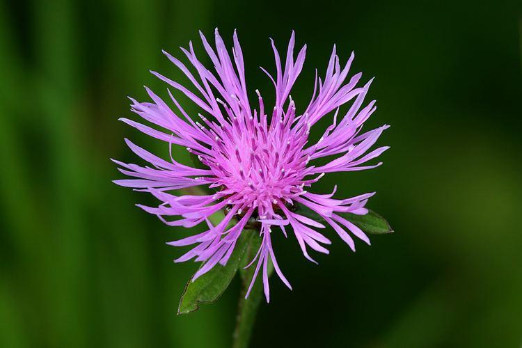 Centaurea maculosa FileSpotted Knapweed Centaurea maculosajpg Wikimedia Commons