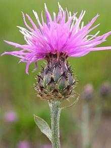 Centaurea maculosa httpsuploadwikimediaorgwikipediacommonsthu