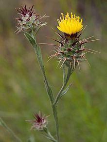 Centaurea melitensis httpsuploadwikimediaorgwikipediacommonsthu