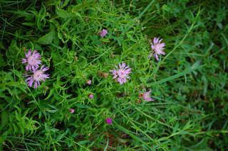 Centaurea nigrescens Centaurea nigrescens Tyrol knapweed Discover Life