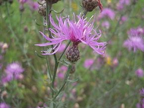 Centaurea stoebe httpsuploadwikimediaorgwikipediacommonsthu