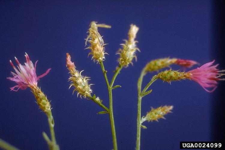 Centaurea virgata squarrose knapweed Centaurea virgata Asterales Asteraceae 0024099