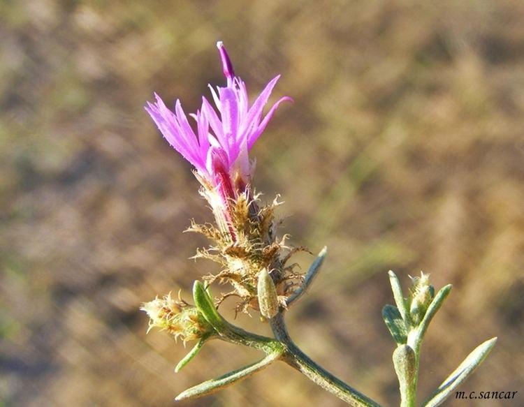 Centaurea virgata Centaurea virgata Ac sprge