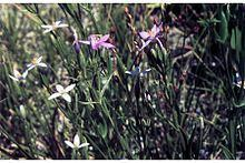 Centaurium exaltatum httpsuploadwikimediaorgwikipediacommonsthu