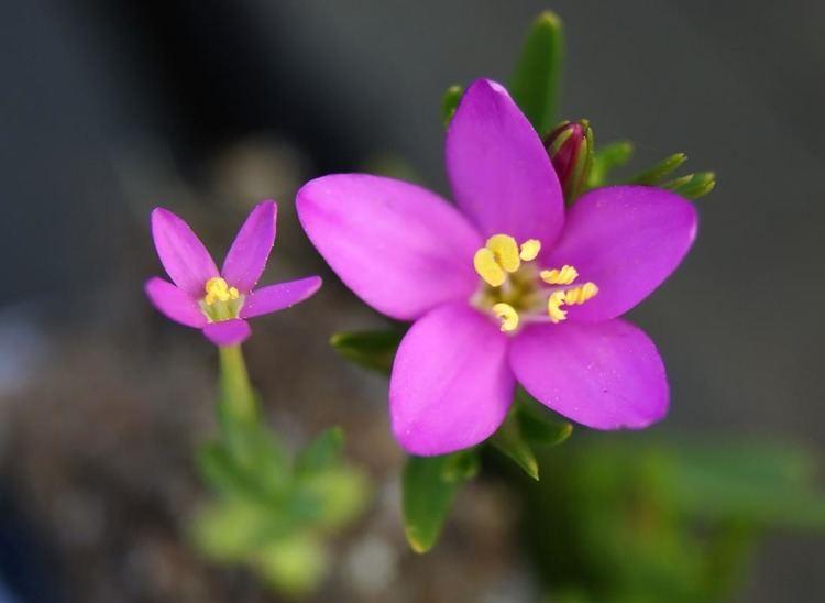 Centaurium pulchellum Lesser Centaury Centaurium pulchellum Flowers NatureGate