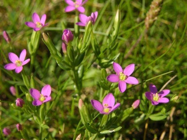 Centaurium pulchellum SEINet Arizona Chapter Centaurium pulchellum