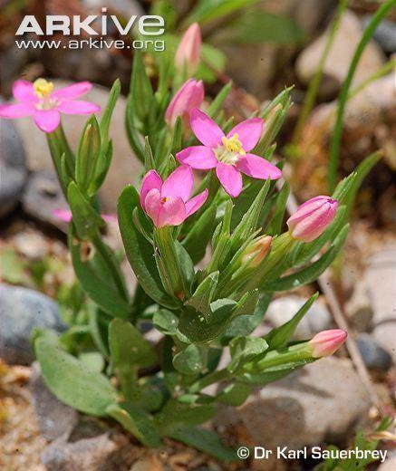 Centaurium pulchellum Centaurium photo Centaurium pulchellum G129188 ARKive