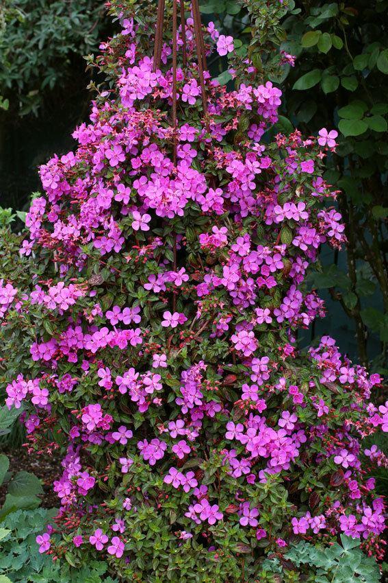 Centradenia Centradenia floribunda quotSpanish Shawlquot Buy Online at Annie39s Annuals