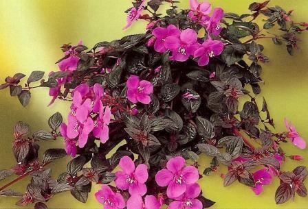 Centradenia Centradenia Cascade per104 A4Dibble Plants