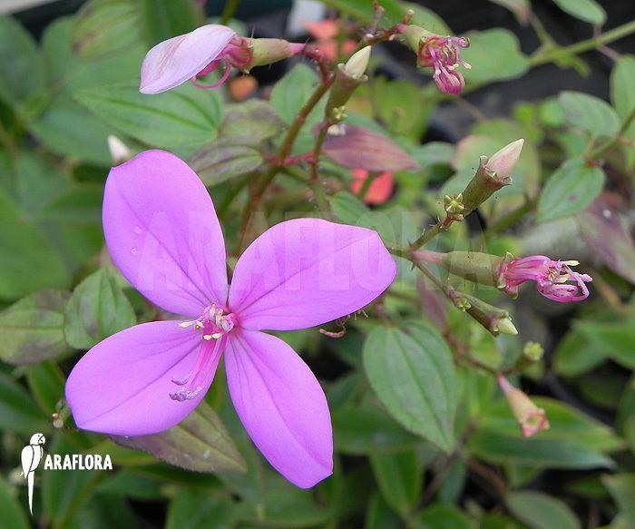 Centradenia Araflora exotic flora amp more Centradenia floribunda 39M39