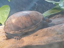 Central American mud turtle httpsuploadwikimediaorgwikipediacommonsthu