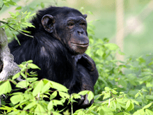 Central chimpanzee apesportalevampgdeimageslayoutsliderspecies