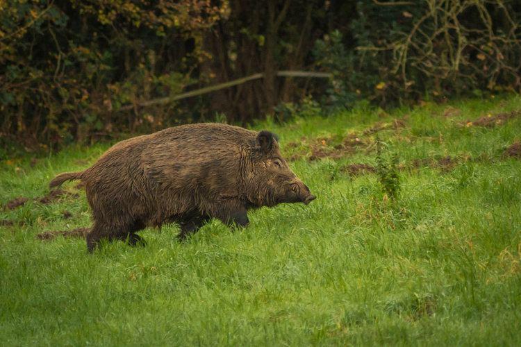 Central European boar img11deviantartnet4d90i2016070a0centrale