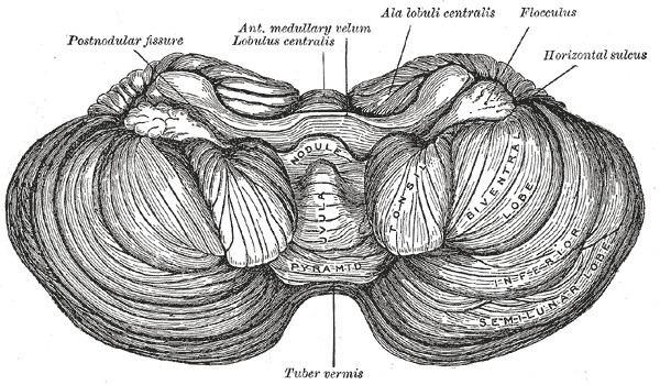 Central lobule