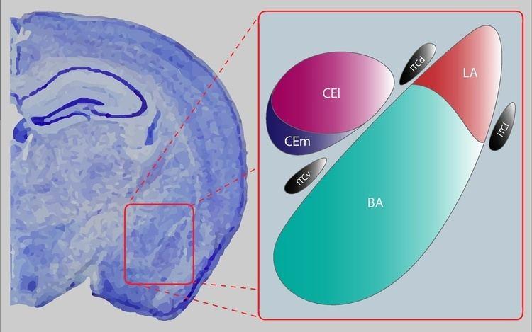 Central nucleus of the amygdala