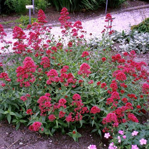 Centranthus Explore Cornell Home Gardening Flower Growing Guides Growing Guide