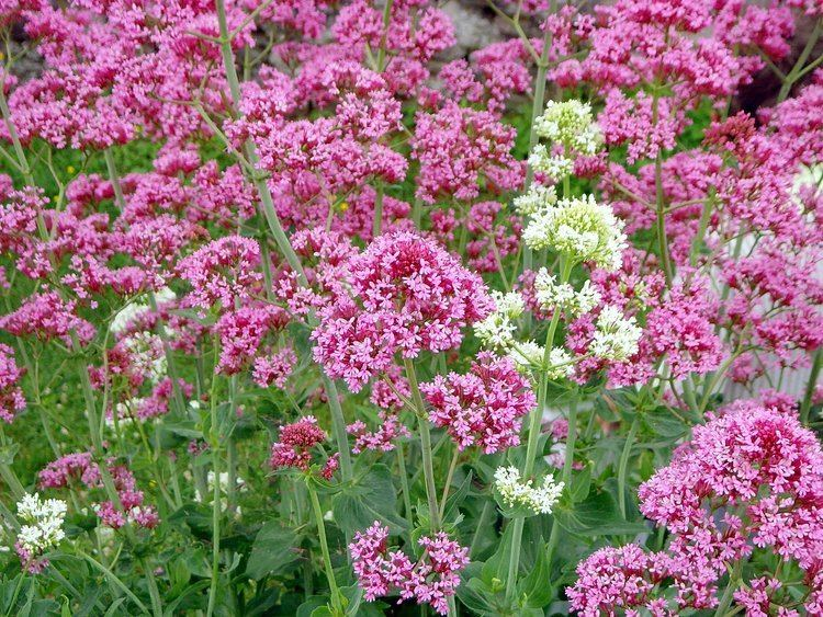 Centranthus ruber 1000 images about on Pinterest