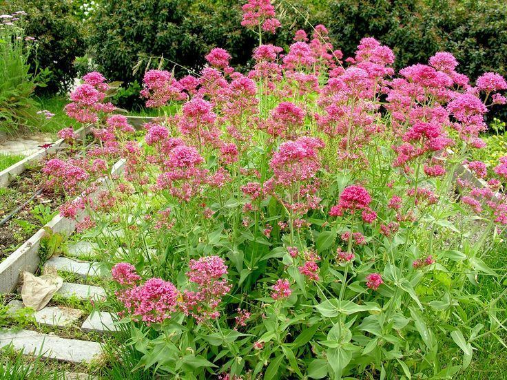 Centranthus ruber 1000 images about Centranthus on Pinterest Gardens Hummingbirds