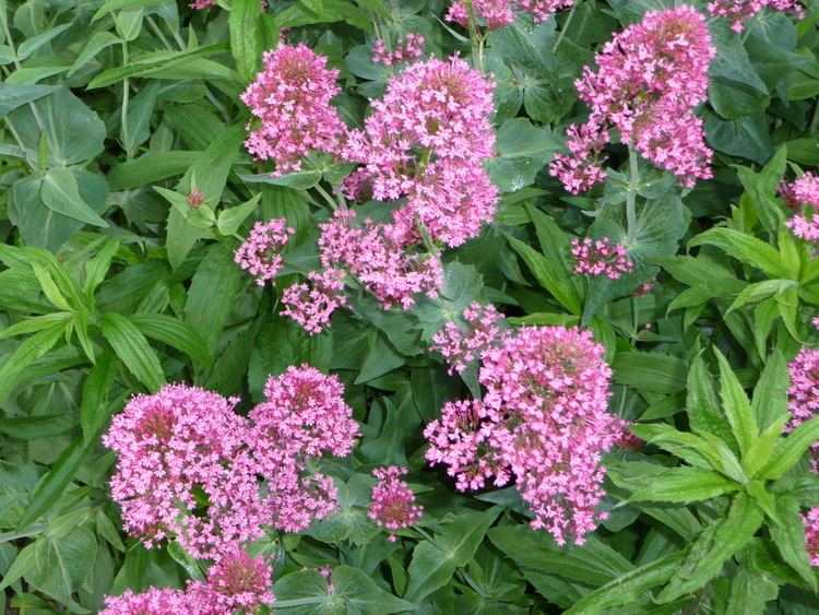 Centranthus ruber Centranthus ruber Wikiwand