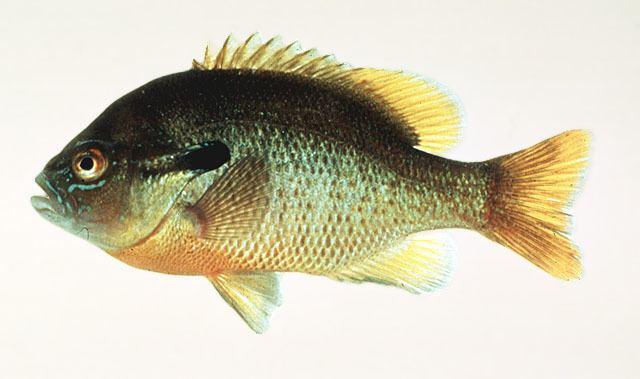 Centrarchidae Fish Identification