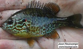 Centrarchidae Fish Order Centrarchidae Sunfish and Bass hatch amp pictures
