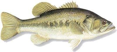 Centrarchidae FISH SPECIES