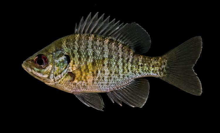 Centrarchidae Centrarchidae Fishes of North Carolina
