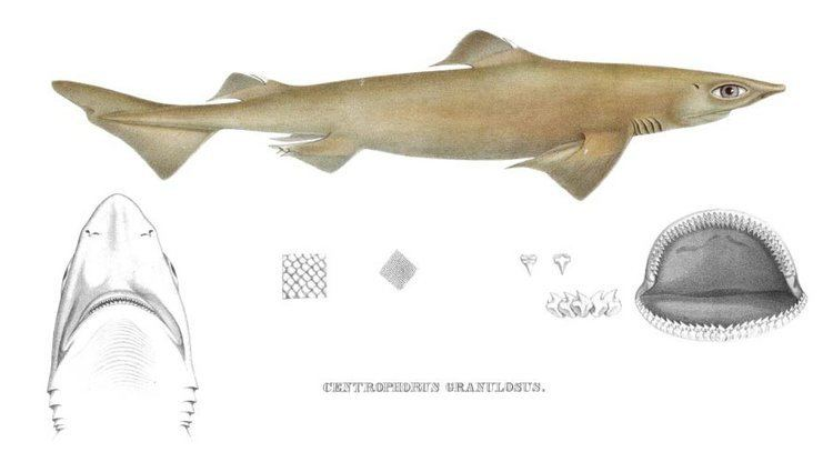 Centrophorus sharkreferencescomimagesspeciesCentrophorusg