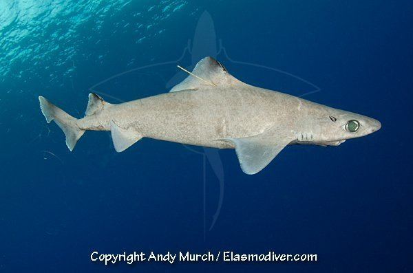 Centrophorus Centrophorus granulosus SharkReferences