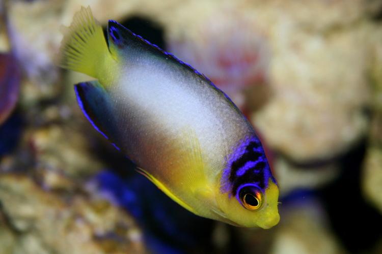 Centropyge multicolor Multicolor Angelfish Centropyge multicolor REEF2REEF Saltwater