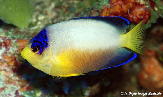 Centropyge multicolor Centropyge multicolor