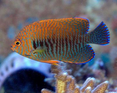 Centropyge potteri Fish Profile Potter39s Angelfish Centropyge potteri by Lisa Miller
