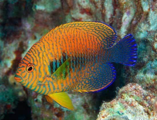 Centropyge potteri saltwatertropicalfishandaquariumscomangelfishC