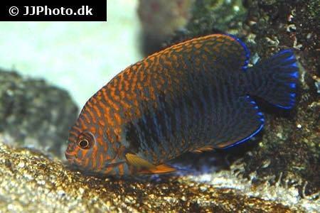 Centropyge potteri Potter39s Angelfish Centropyge potteri in aquarium