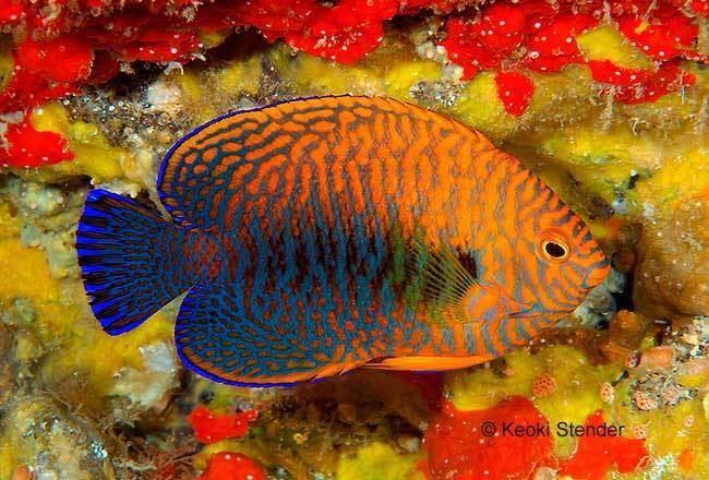 Centropyge potteri Potter39s Angelfish Centropyge potteri Tim39s Tropical Fish and
