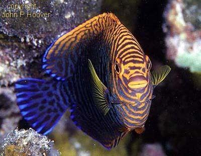 Centropyge potteri Fish of the Month Potter39s Angelfish Centropyge potteri