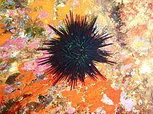 Centrostephanus rodgersii httpsuploadwikimediaorgwikipediacommonsthu