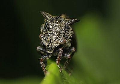 Centrotus cornutus Membracidae Centrotus cornutus