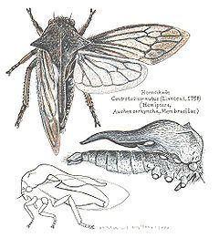 Centrotus cornutus httpsuploadwikimediaorgwikipediacommonsthu