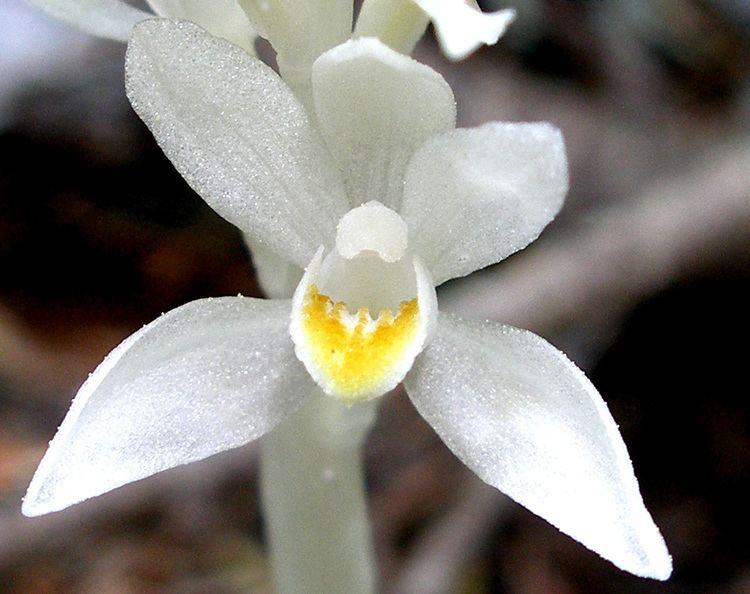 Cephalanthera austiniae CalPhotos Cephalanthera austiniae Phantom Orchid
