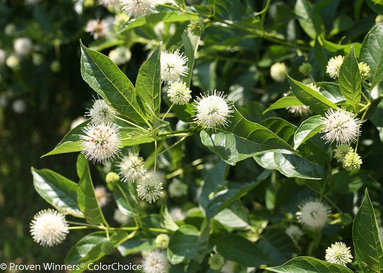 Cephalanthus Sugar Shack Buttonbush Cephalanthus occidentalis Proven Winners