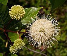 Cephalanthus Cephalanthus occidentalis Wikipedia