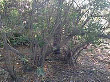 Cephalanthus glabratus httpsuploadwikimediaorgwikipediacommonsthu