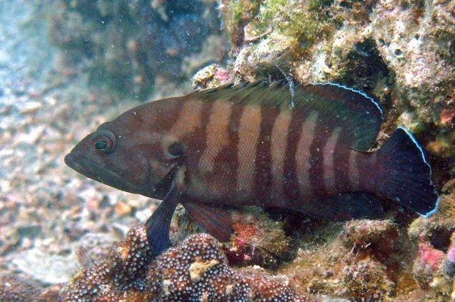 Cephalopholis boenak wwwfishbaseorgtoolsUploadPhotouploadscephalo