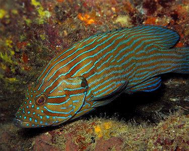 Cephalopholis formosa Blue Line Grouper Aquarium Hobbyist Social Networking Community