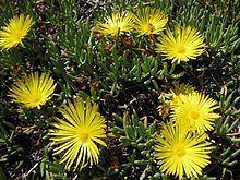 Cephalophyllum httpsuploadwikimediaorgwikipediacommonsthu