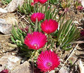 Cephalophyllum Cephalophyllum Wikipdia