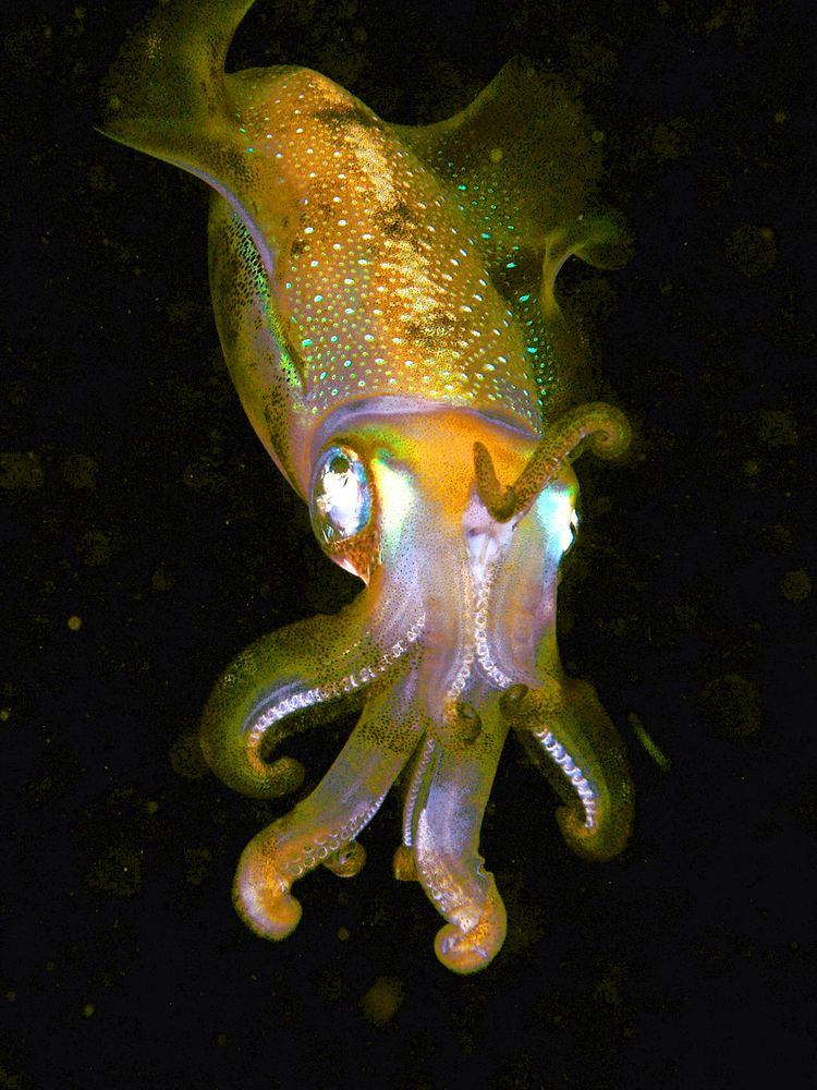 Cephalopod httpsuploadwikimediaorgwikipediacommonsdd