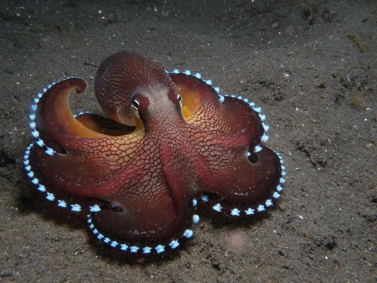 Cephalopod MUPeter Cerebral Cephalopods The Heady HeadFeet