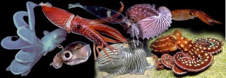 Cephalopod Cephalopoda